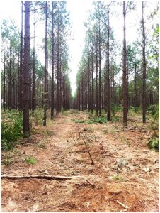 Timber Harvesting - Pine Tract After Third Row Thinning
