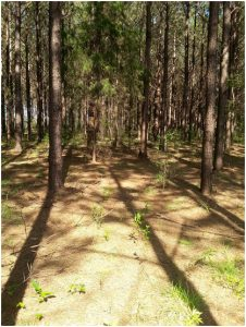 Pine Harvesting Tract - Before Third Row Thinning